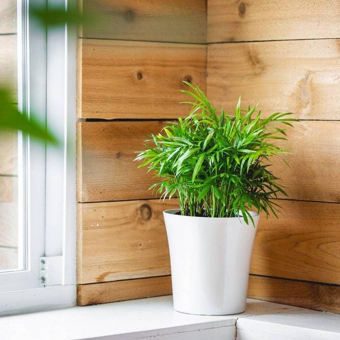 Parlor palm house plant