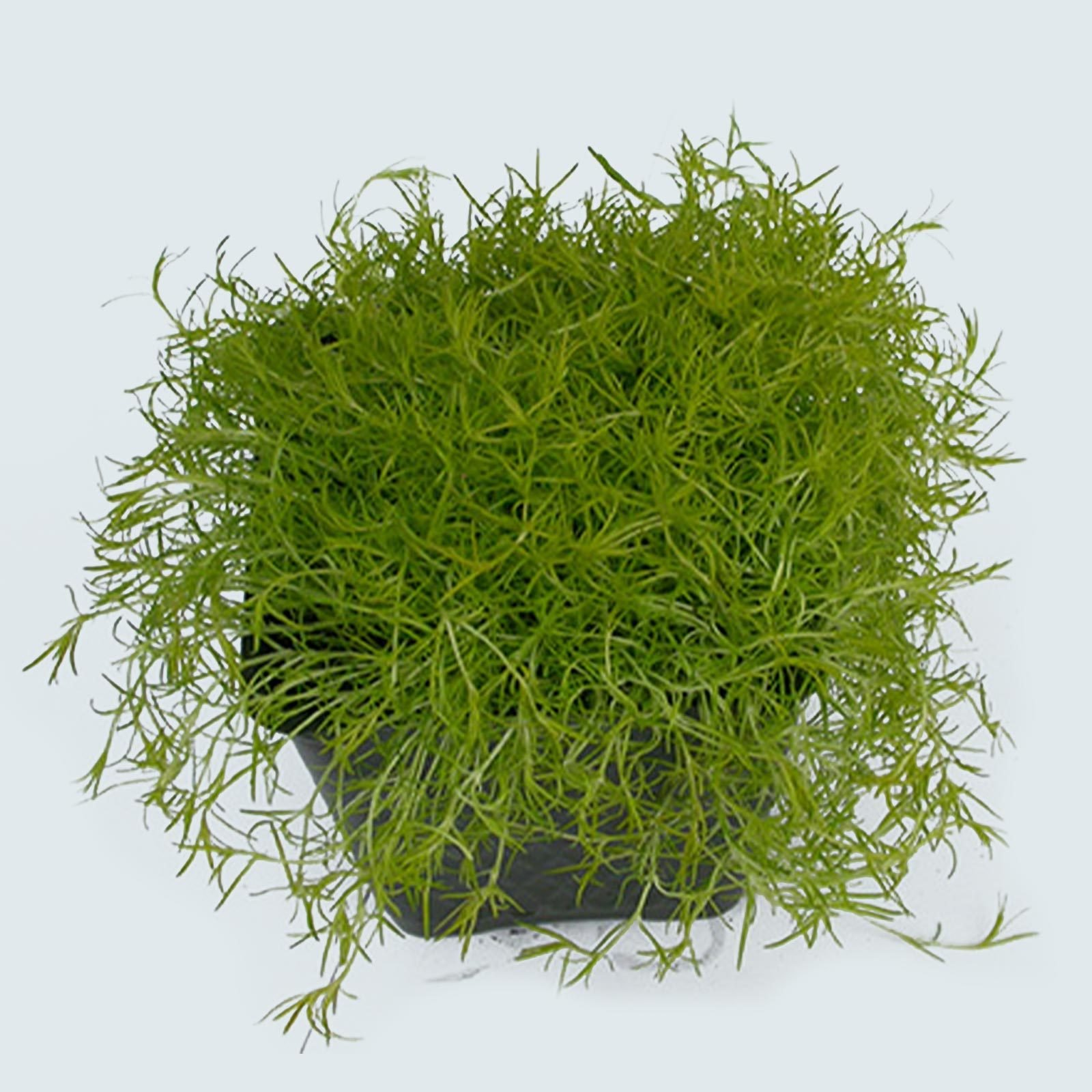 Mosses (Bryophyta)