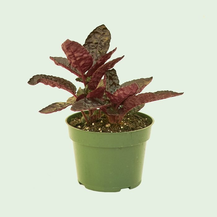 Purple Waffle Plant