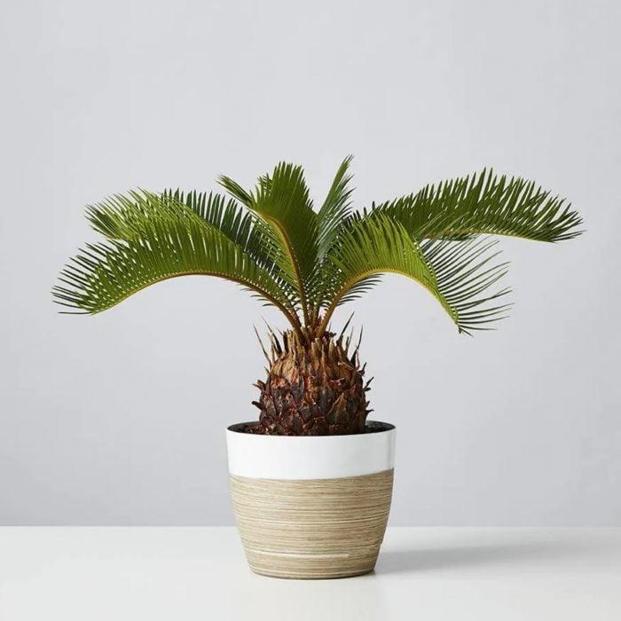 Sago palm house plant