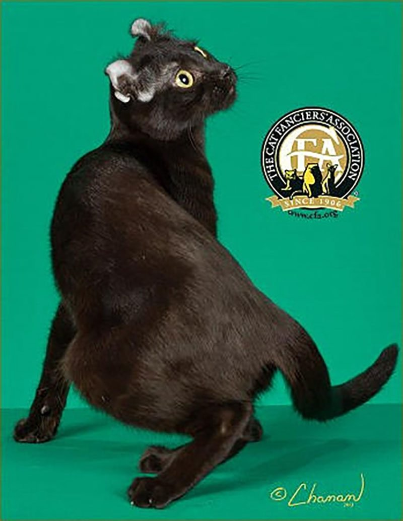 american curl cat, black