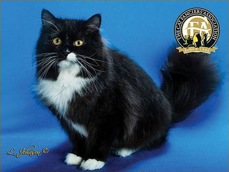 black ragamuffin cat
