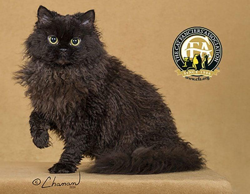 Selkirk Rex black cat