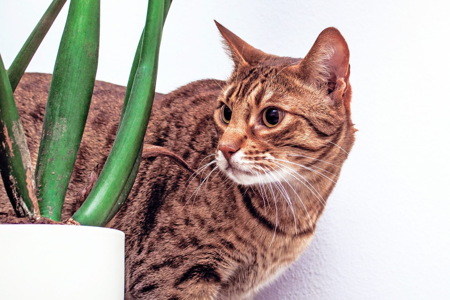 Ocicat cat near flower on white wall background, housecat indoor, copy space