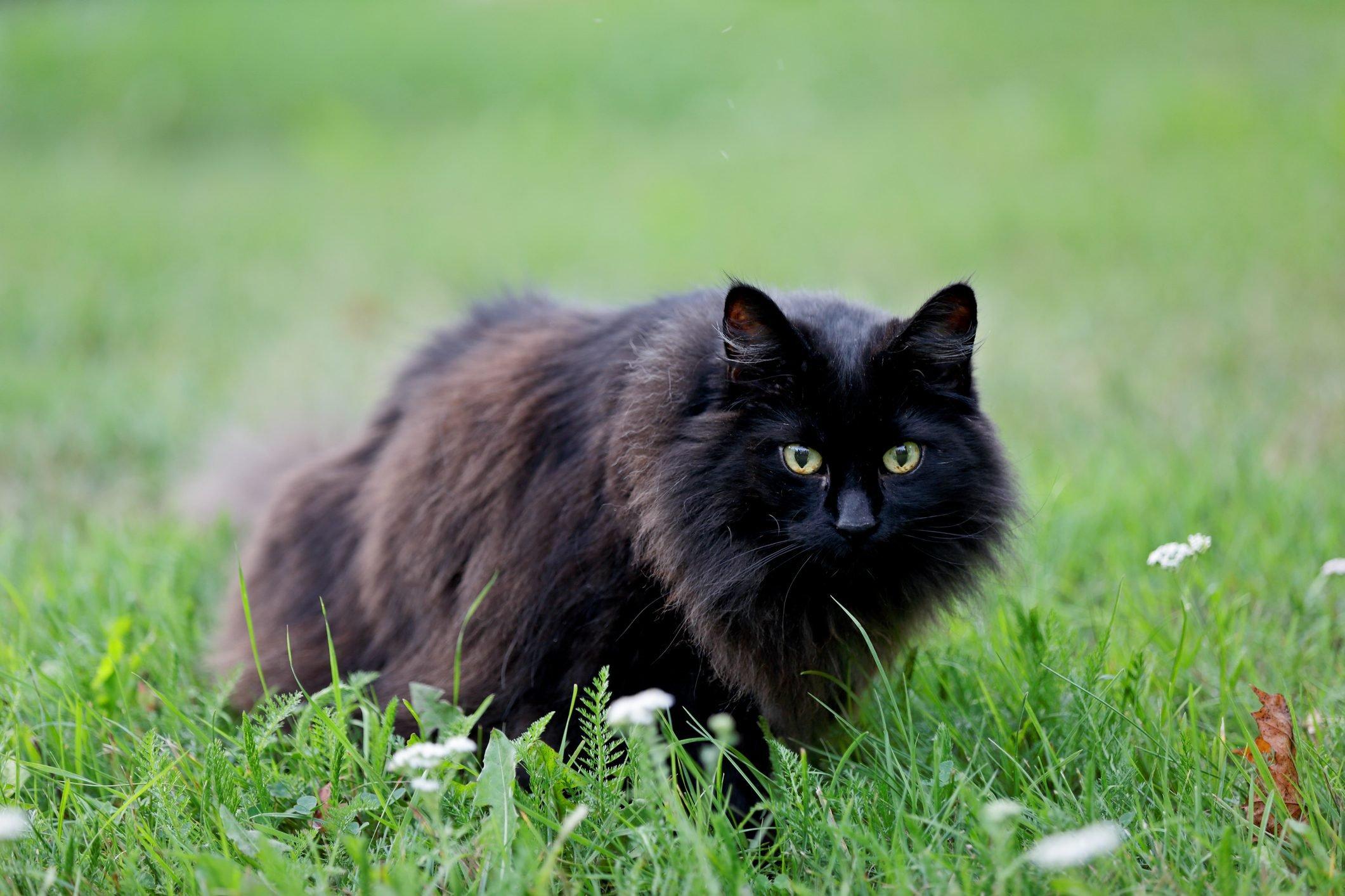 Black norwegian forest cat female