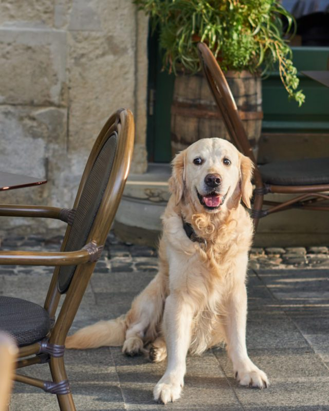 Happy smiling golden retriever young dog in cafe in old city downtow. Pets friendly vacations travel concept.