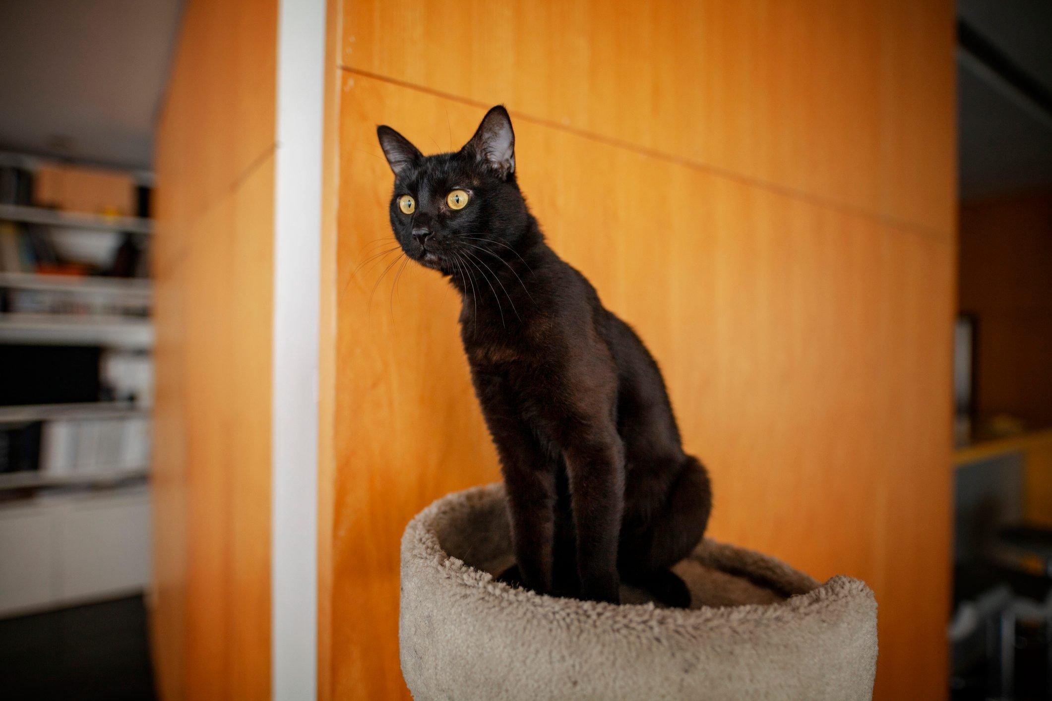 Attentive Black cat