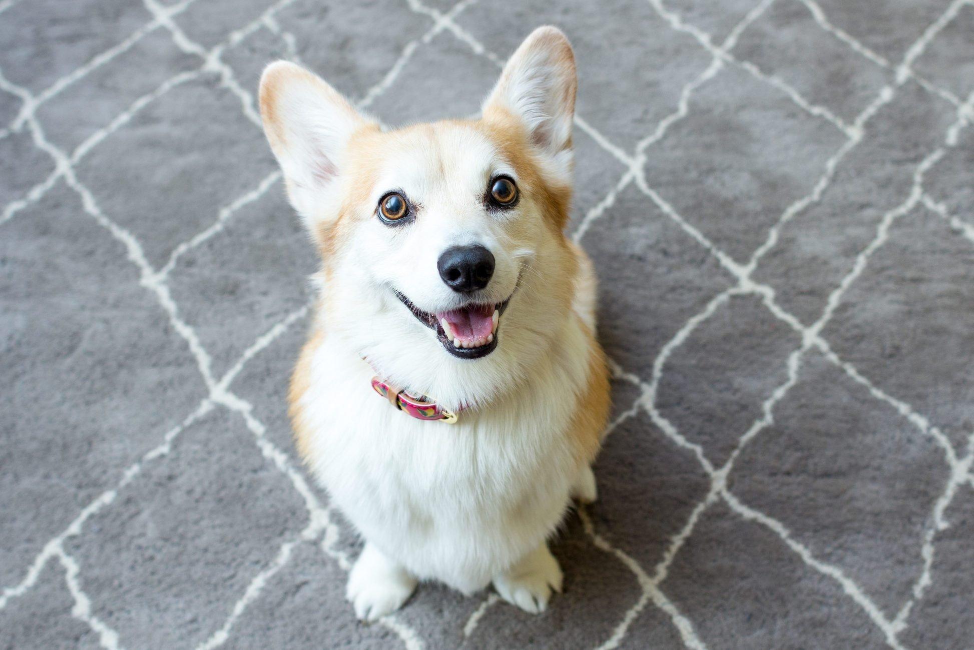 Smiling corgi sitting on rug