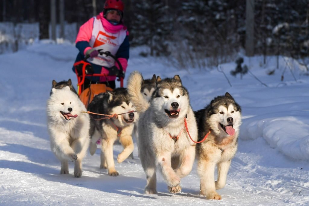 2019 Christmas Ride sled dog race in Novosibirsk Region, Russia