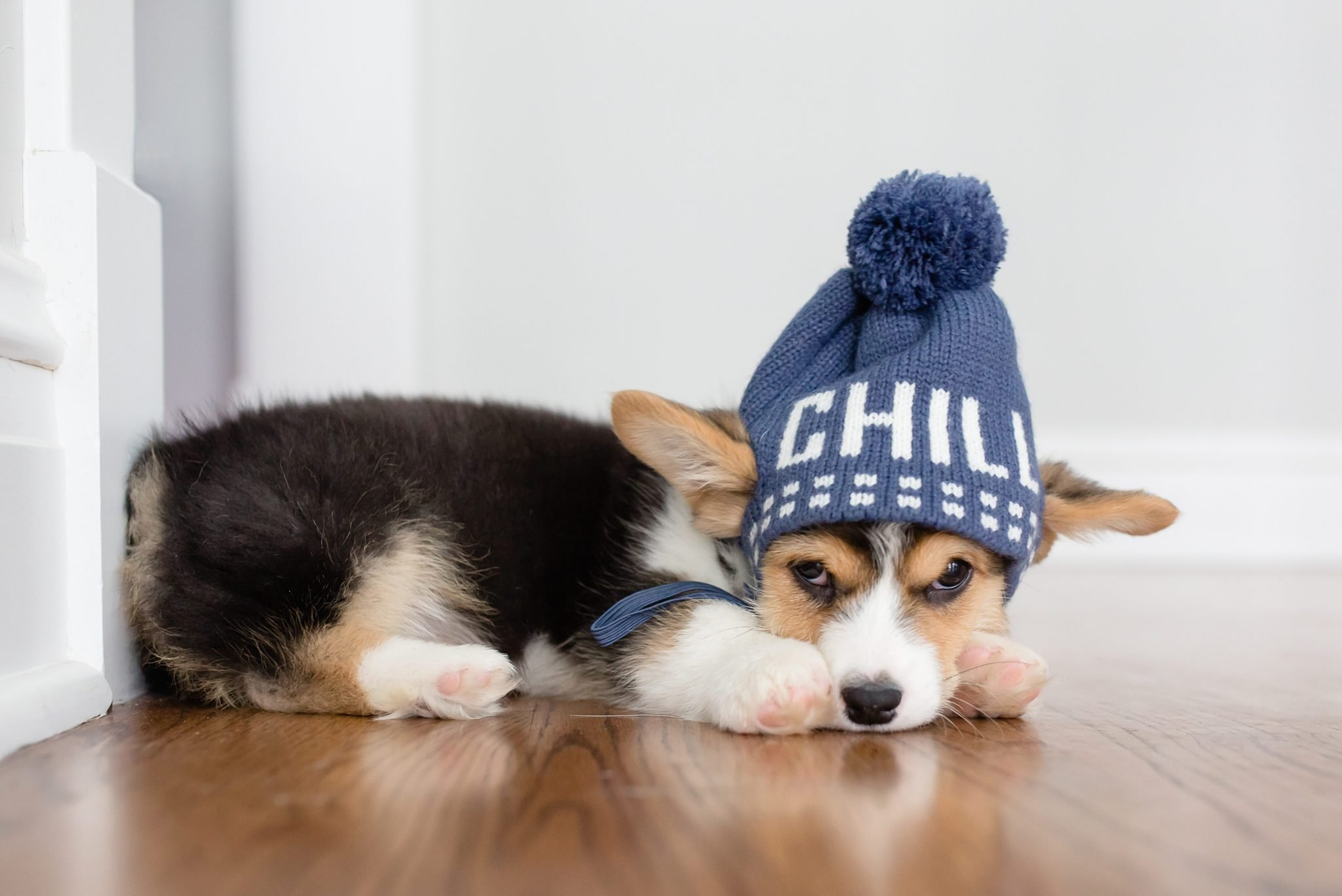 Corgi puppy laying down with hat cute winter hat on