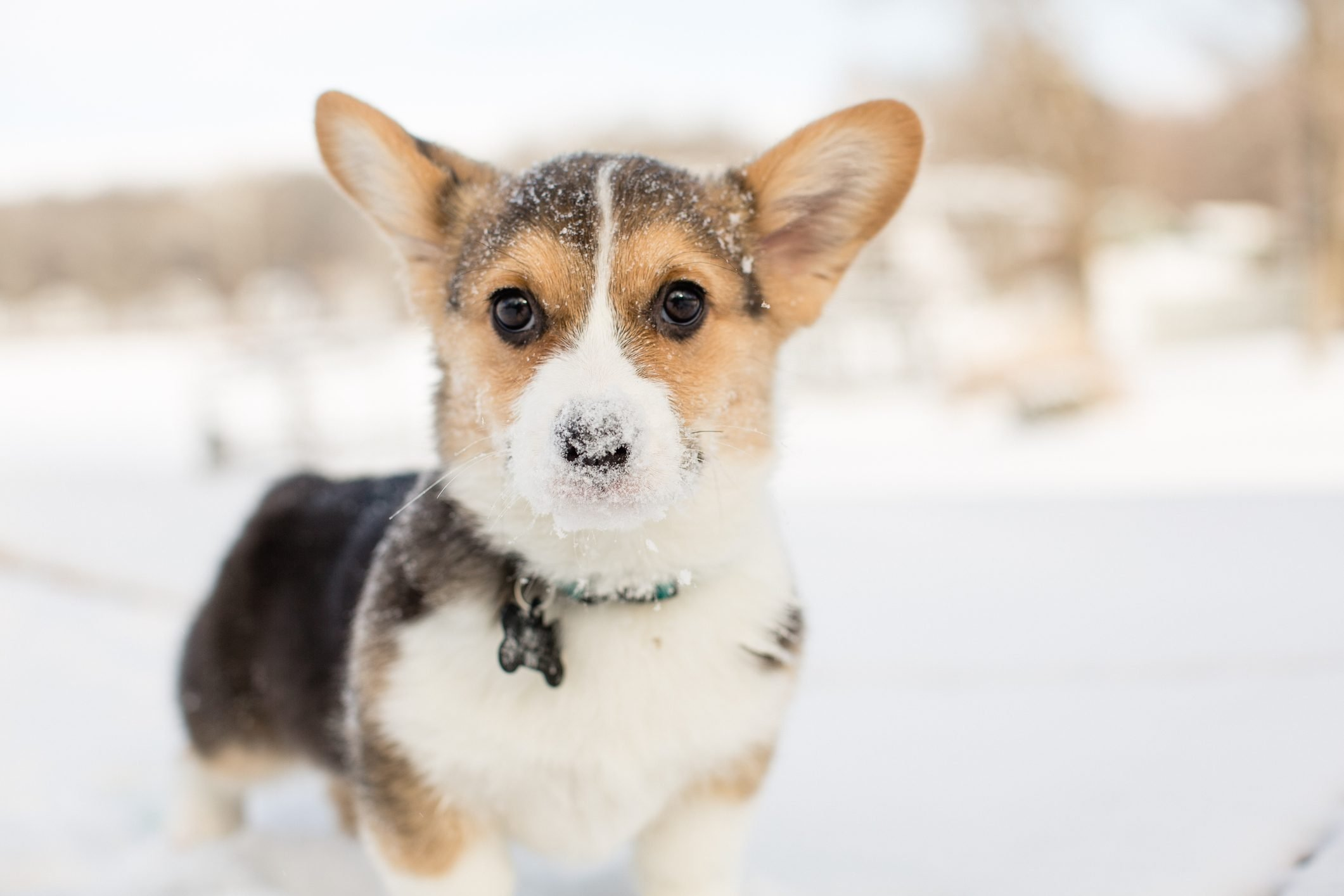Cute tricolor corgi puppy outdoors in winter snow with snow on nose