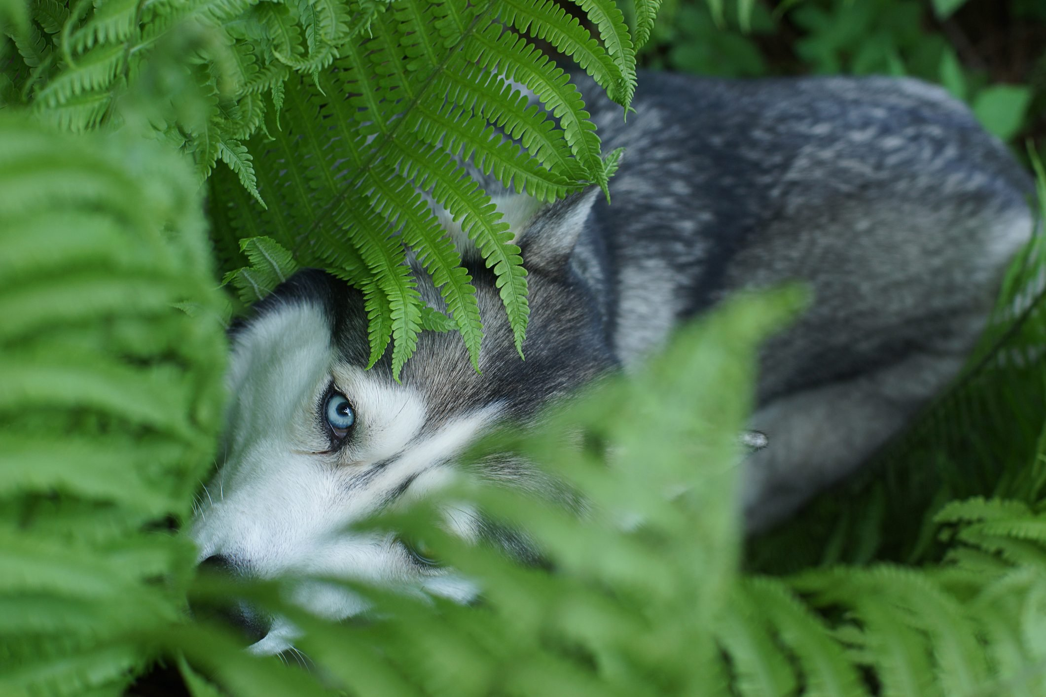 A blue-eyed husky breed dog hid in the fern bushes in summer
