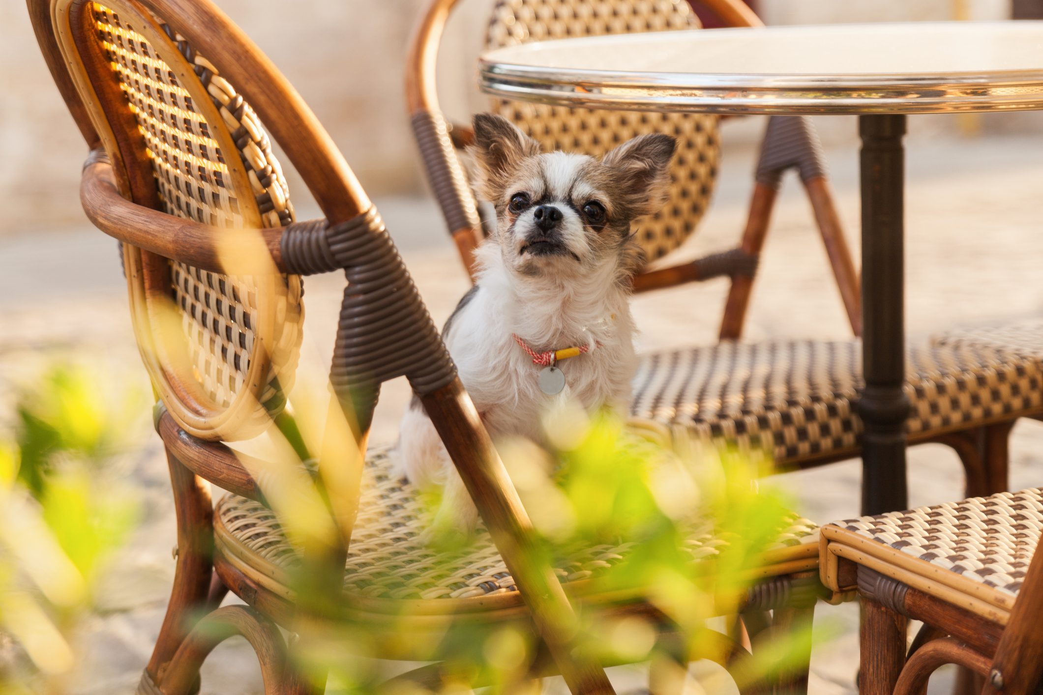 Cute chihuahua young dog in outdoors cafe with chairs and green plants in pots in old city downtown. Summer morning solar bright effect. Pets friendly vacations travel concept.