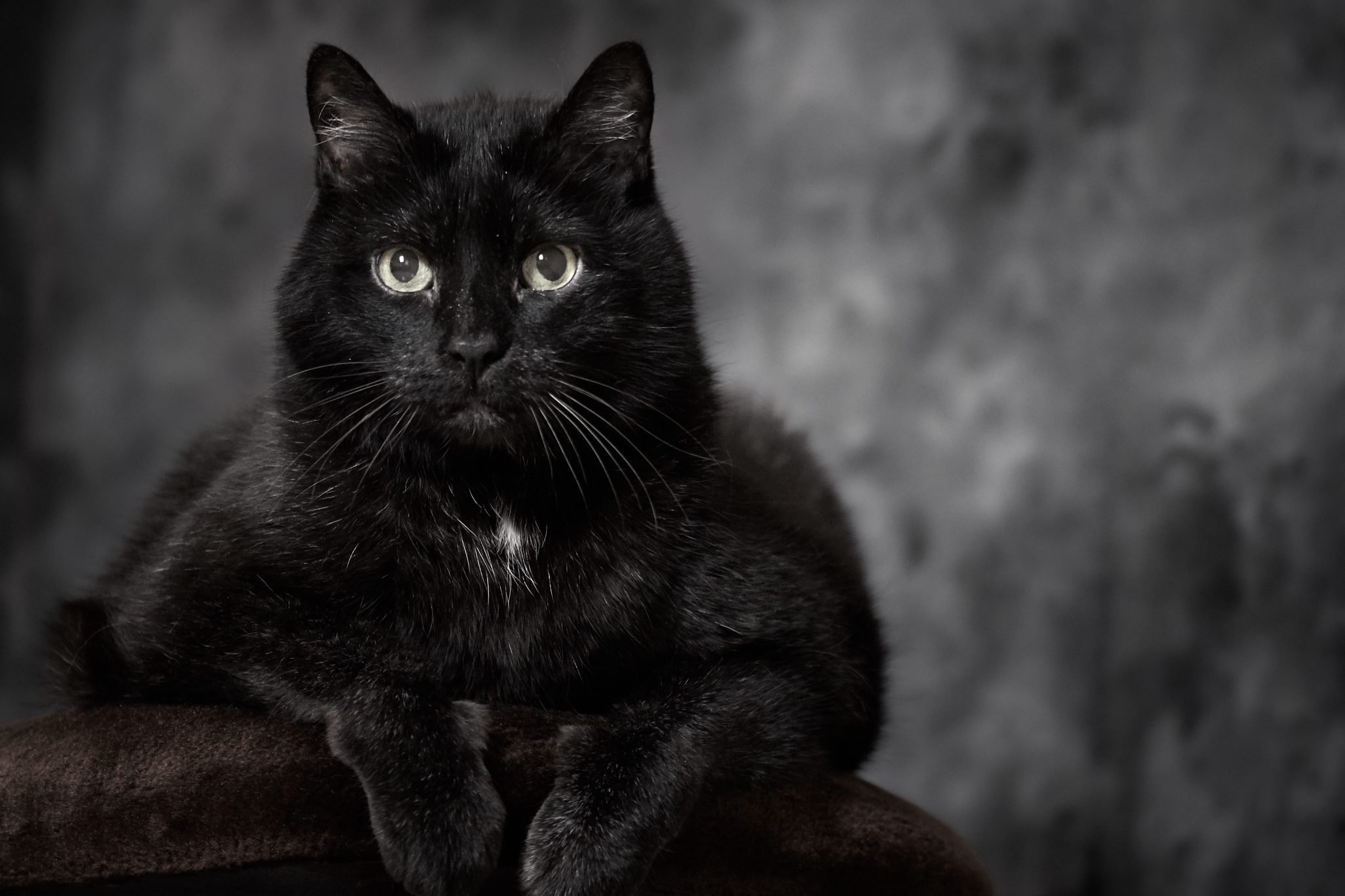 Black turkish angora cat is lying on a brown pillow and looking at the camera