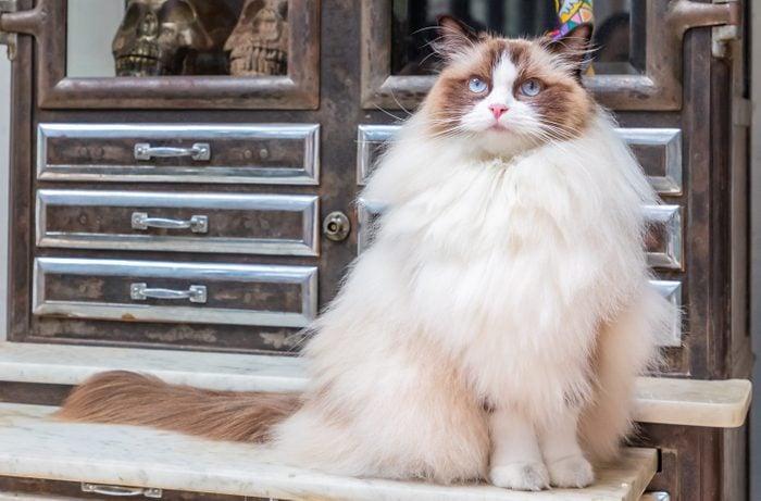 Ragdoll cat and Vintage Cupboard