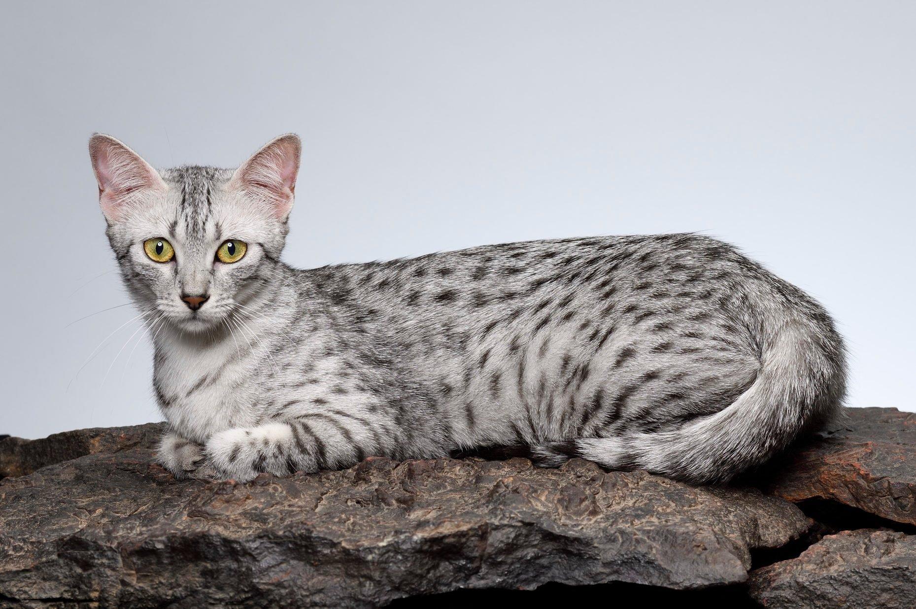 Egyptian Mau cat female cat