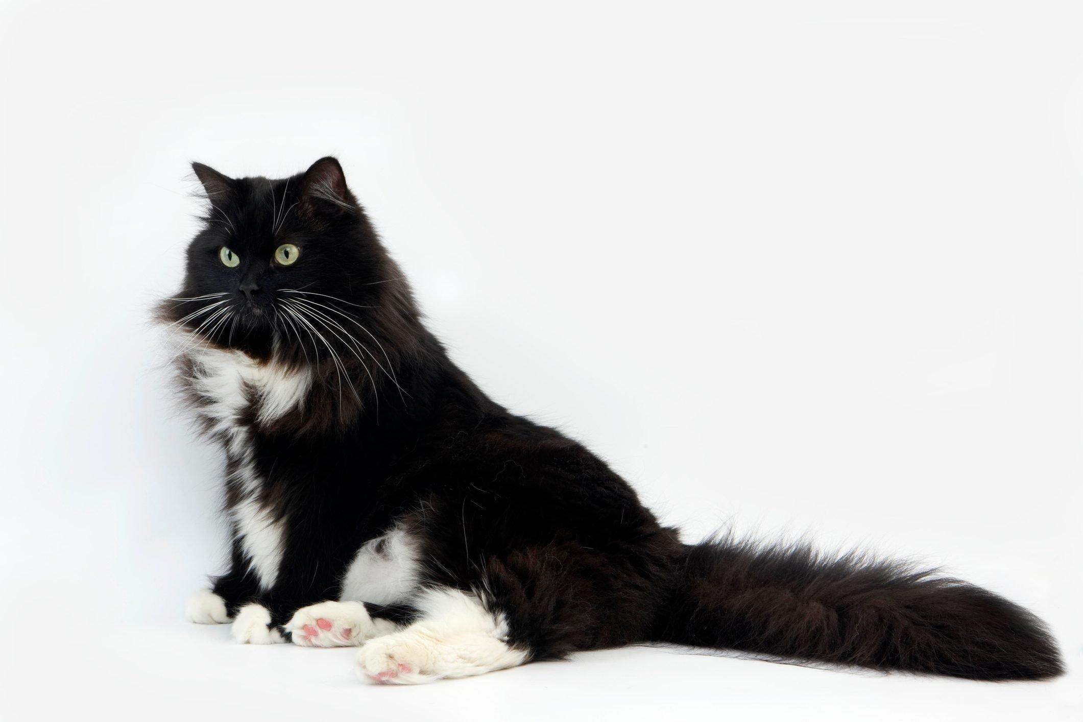 Black and White Siberian Domestic Cat, Female against White Background