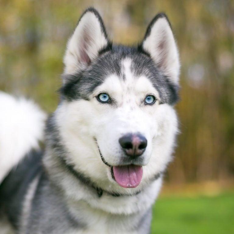 A purebred Siberian Husky dog with blue eyes