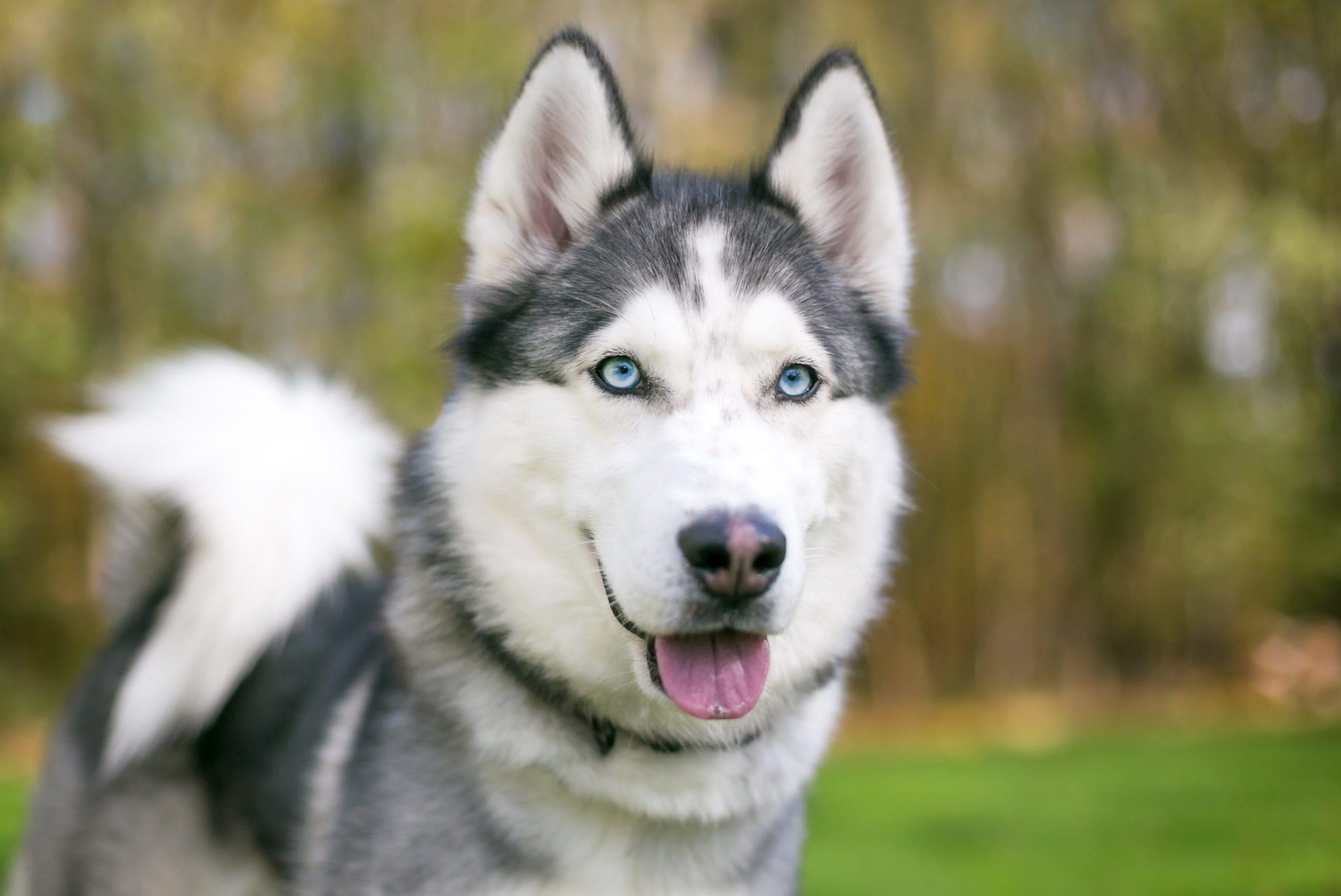 30 Adorable Husky Pictures | Reader's Digest