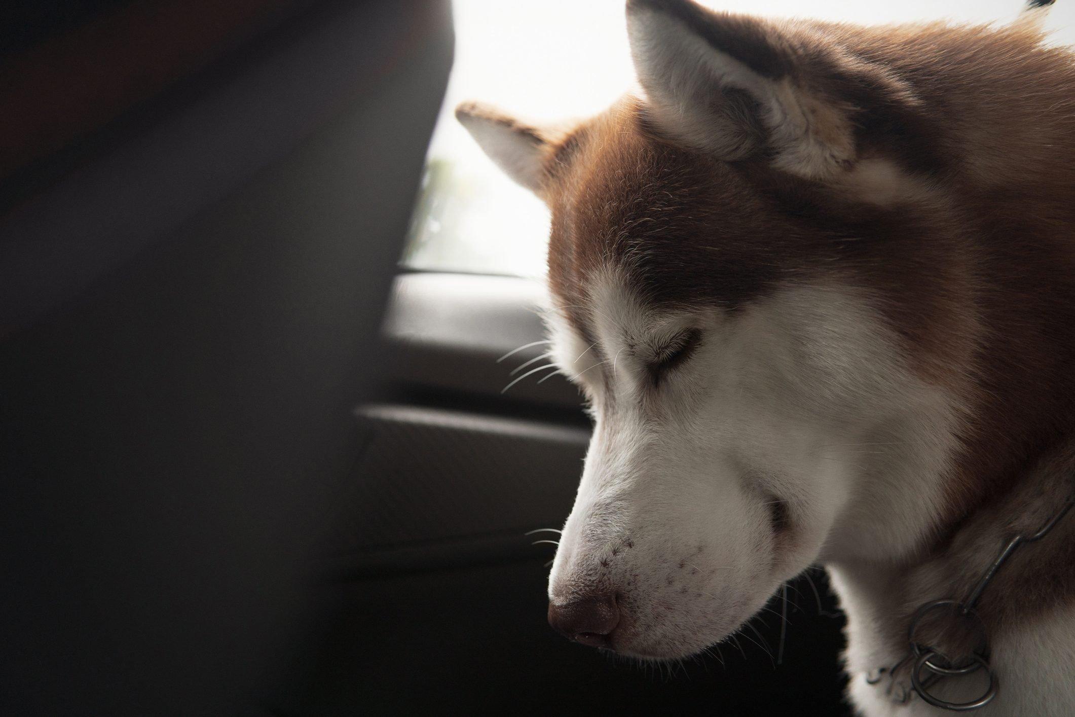 Siberian husky dog sleeping in a car