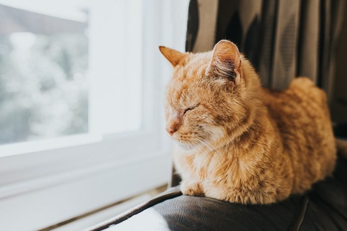Dozing Ginger Cat sitting on Top of the back os a Leather Sofa, by a light Window