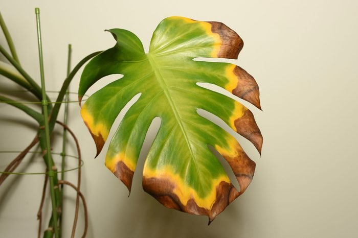 Dying leaf of indoor plant