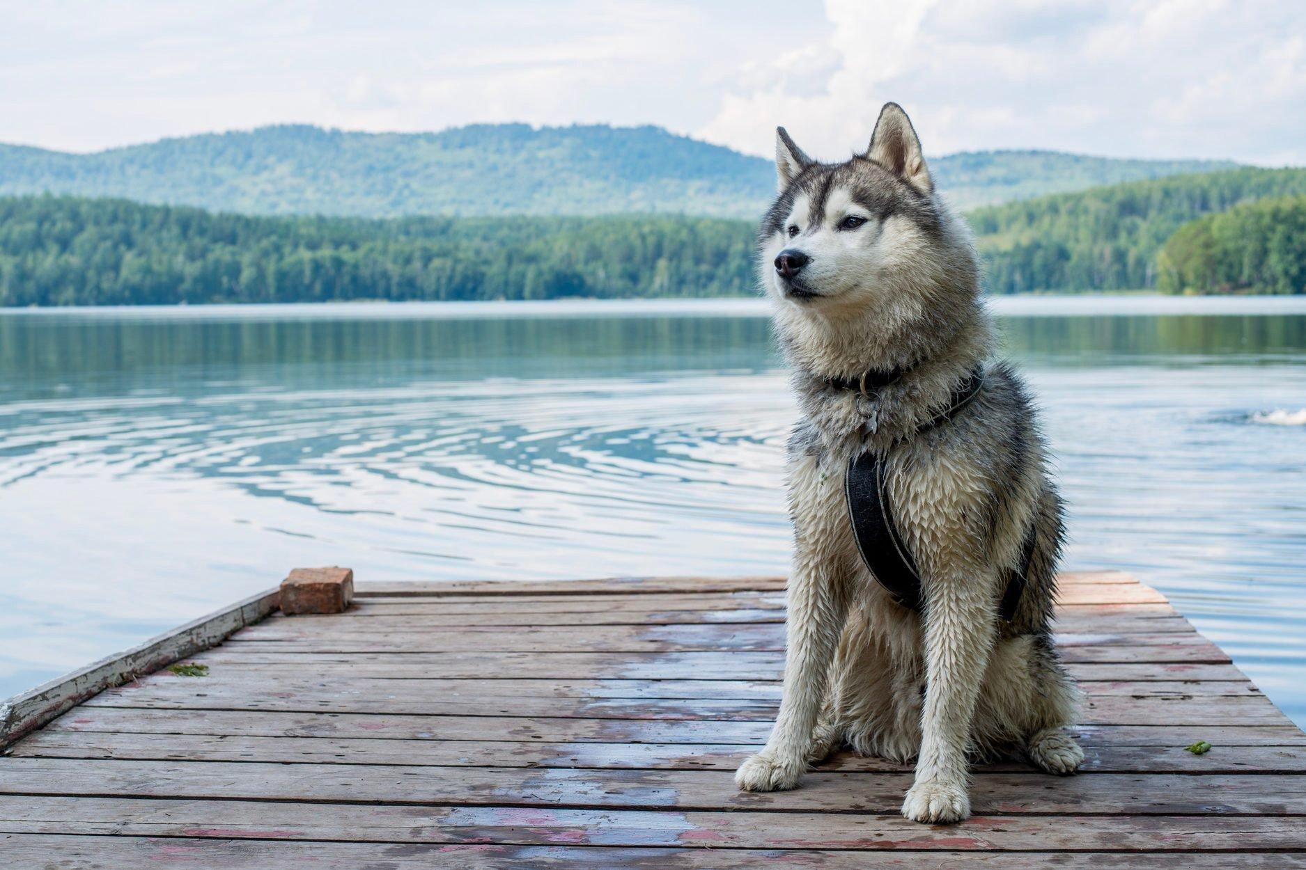 Portrait Of A Dog On A Dock, Kasli, Russia