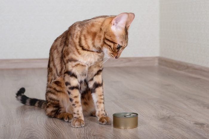 Hungry Bengal cat looks at food with wet cat food.