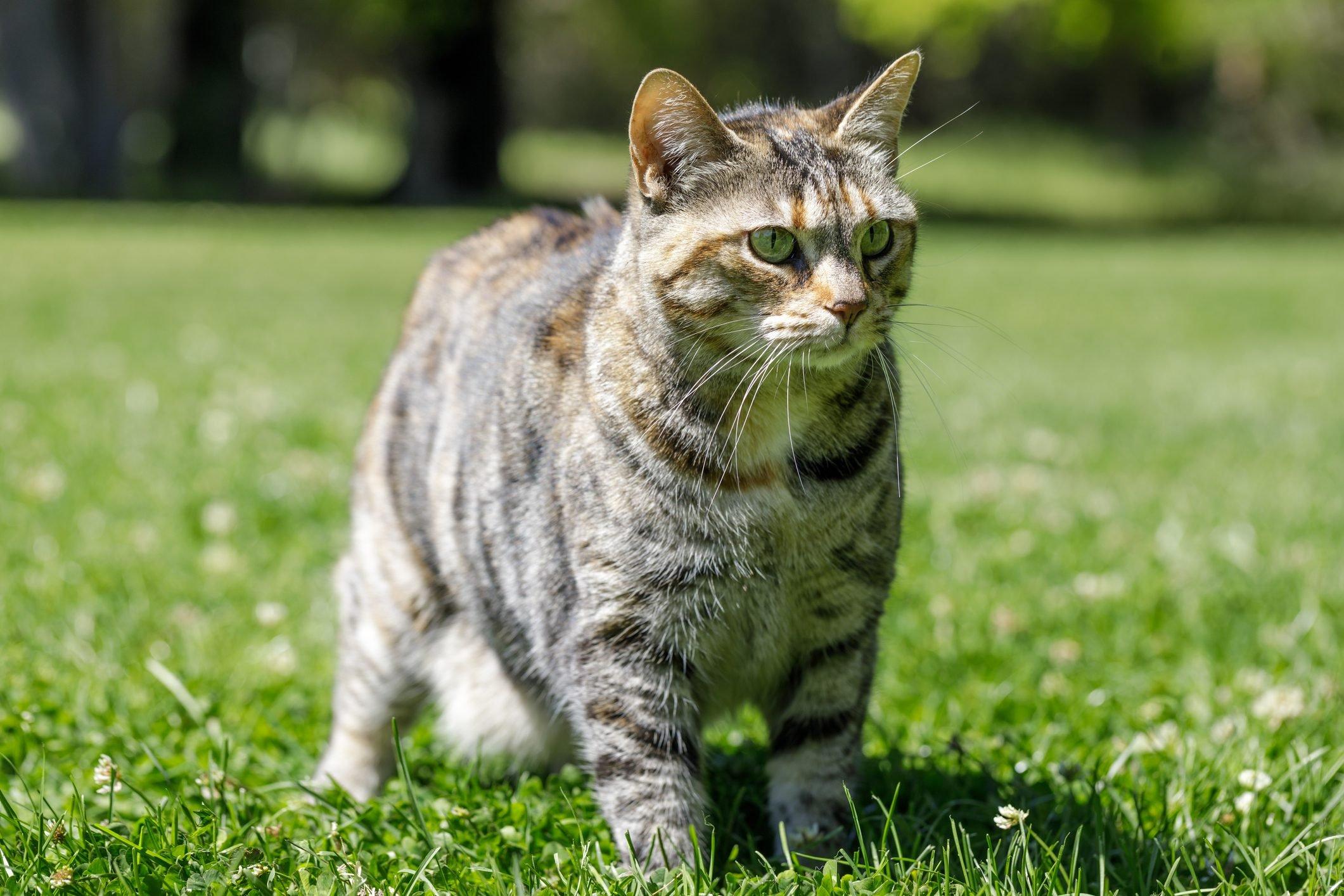 American Bobtail Cat On Grass