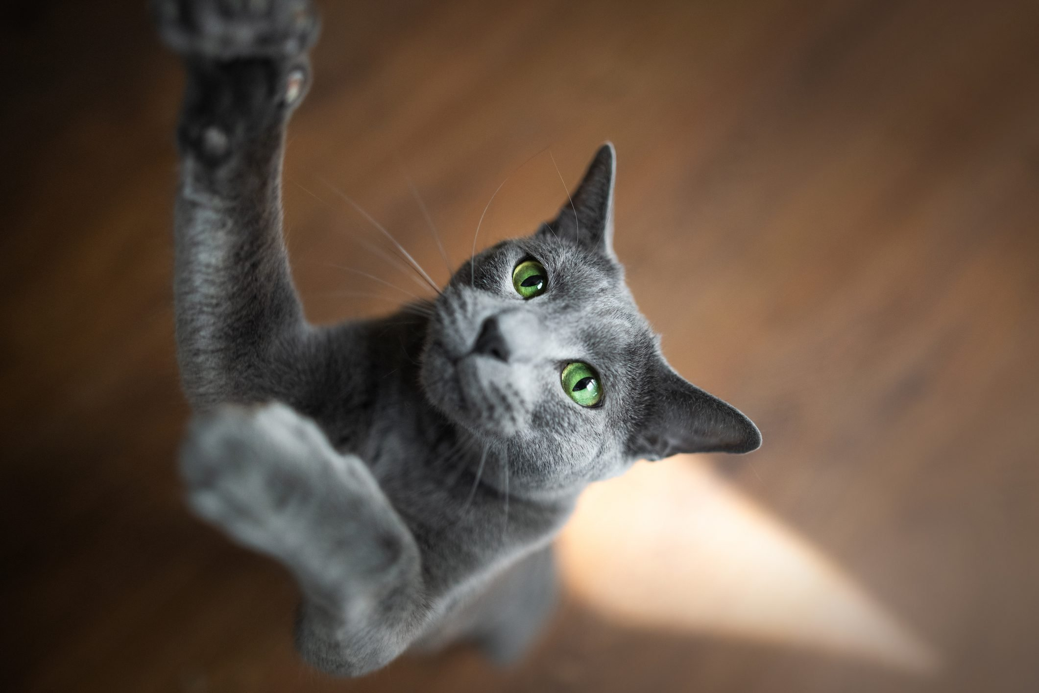 High angle view of cat on hardwood floor reaching for toy,Hakadal,Norway