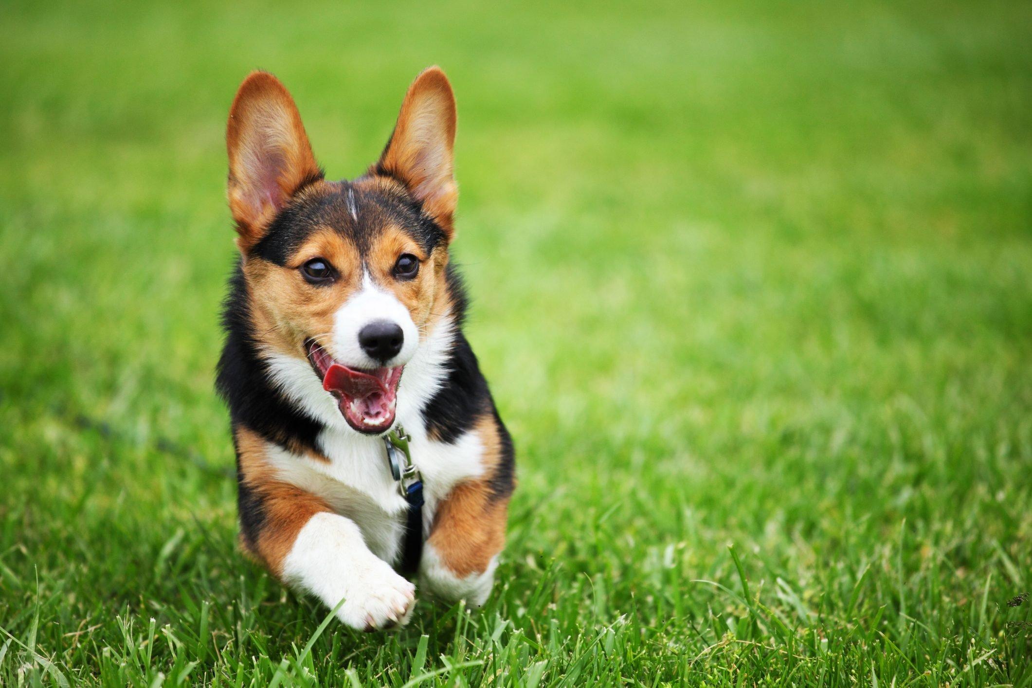 Happy Puppy Running through Grass