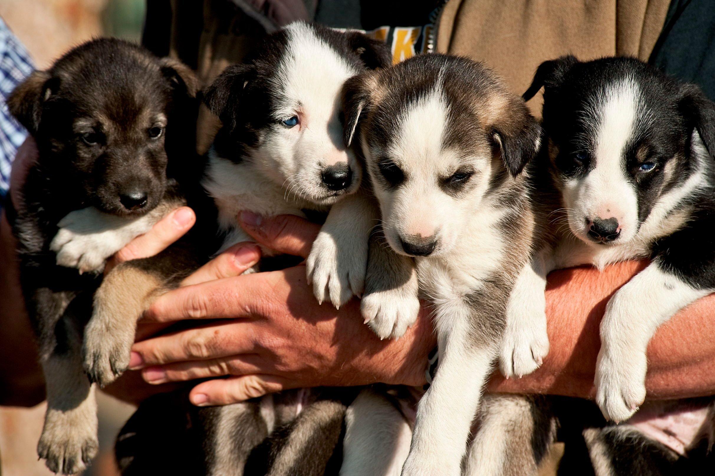 Alaskan Huskey puppies...