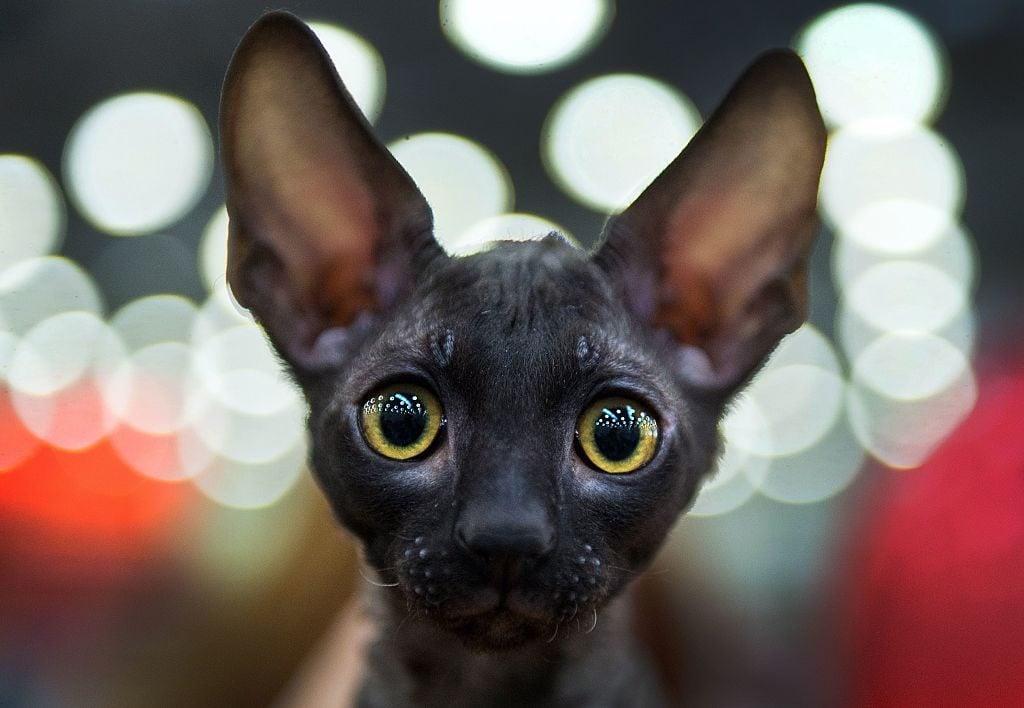 TOPSHOT-RUSSIA-CATSBURG-CATS-SHOW