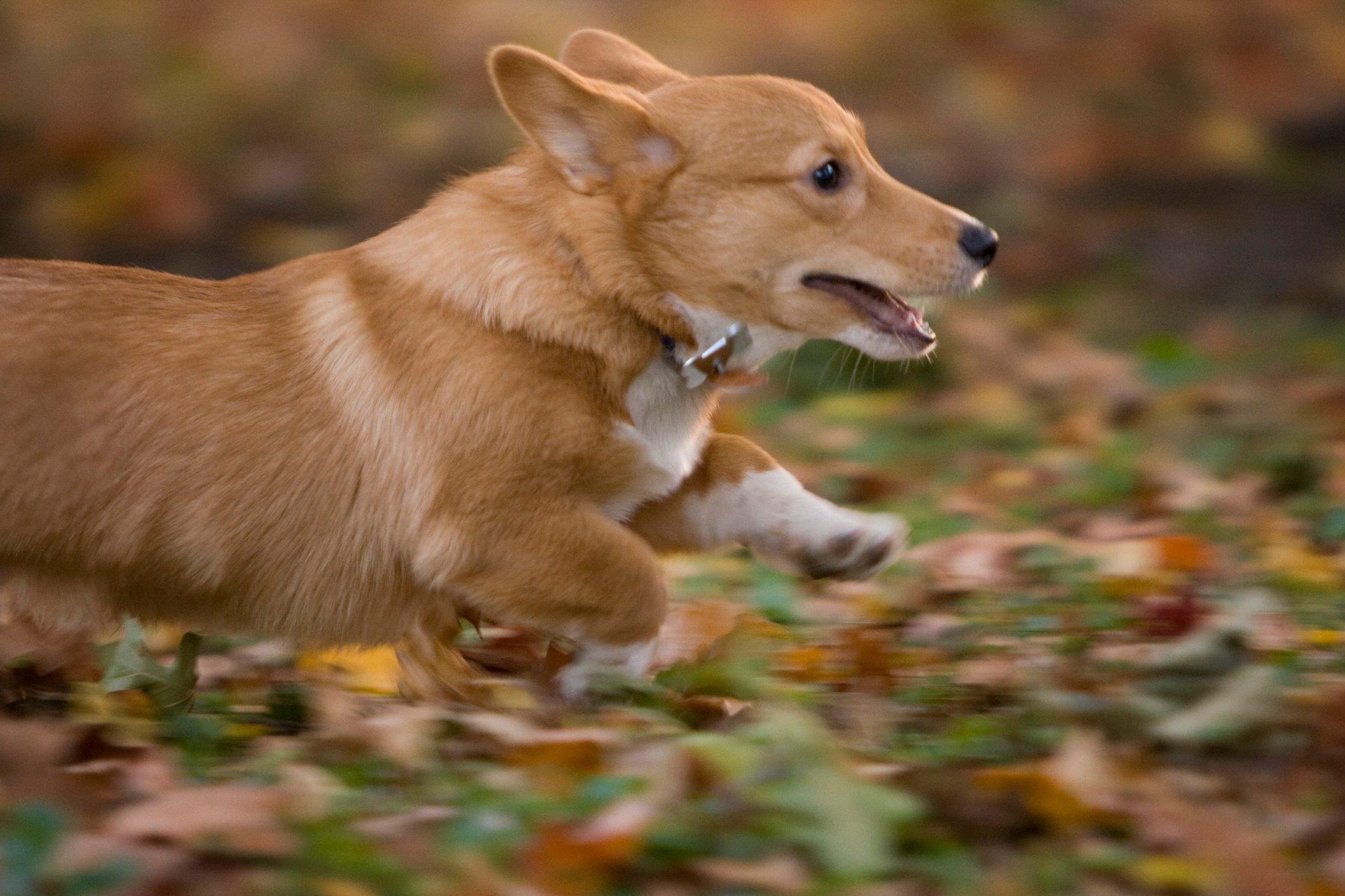 Running corgi puppy