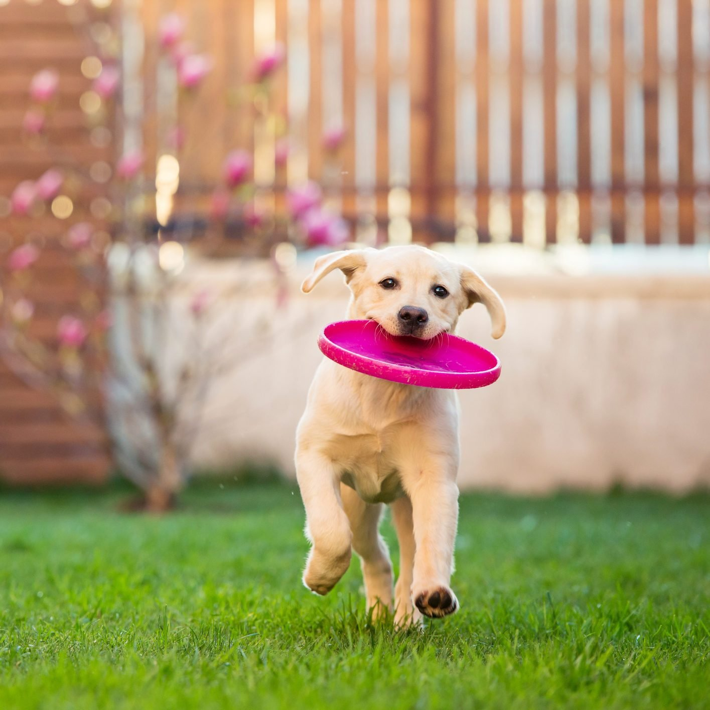 dog running through the backyard with a frisbee