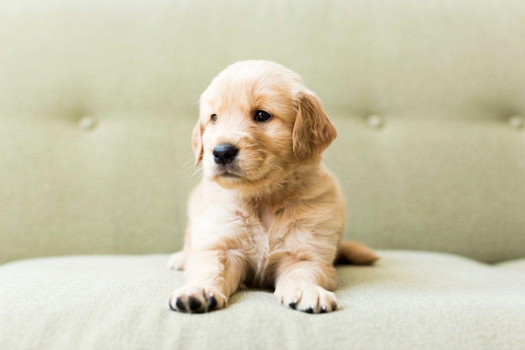 Close-up of golden retriever puppy lying on sofa