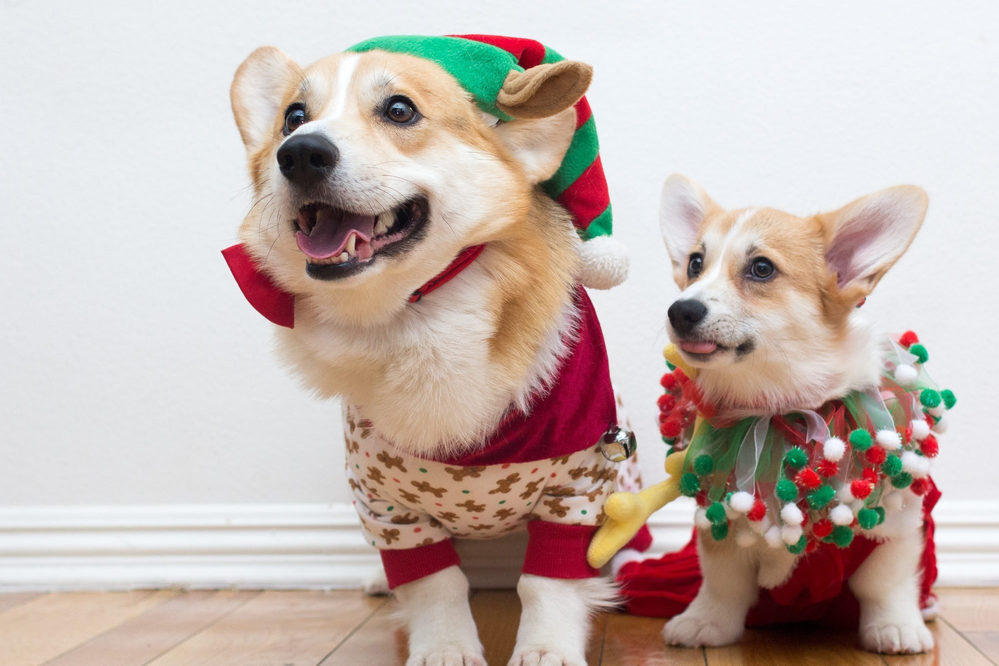 Corgi dogs wearing festive Christmas clothes