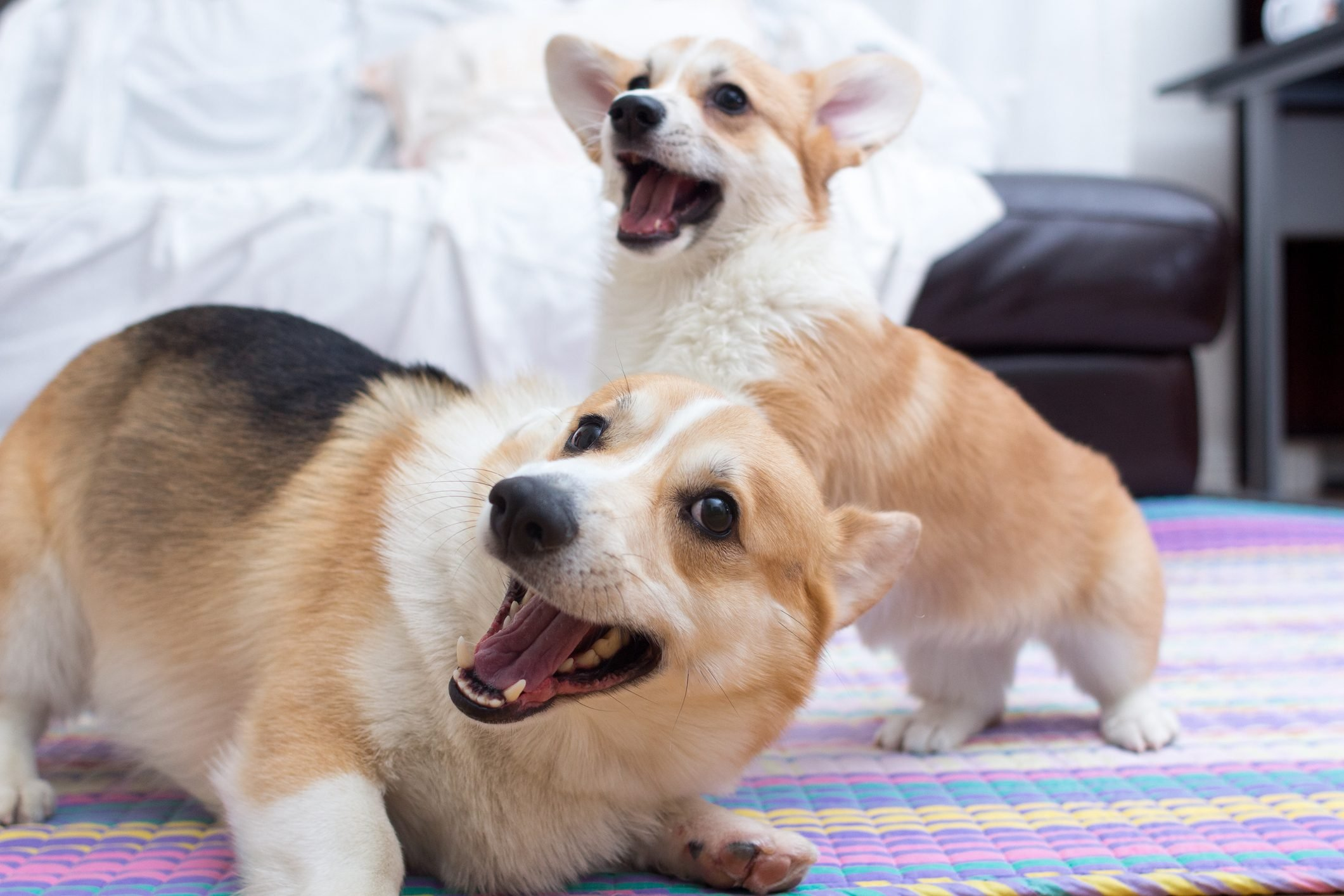 Adult corgi and corgi puppy playing