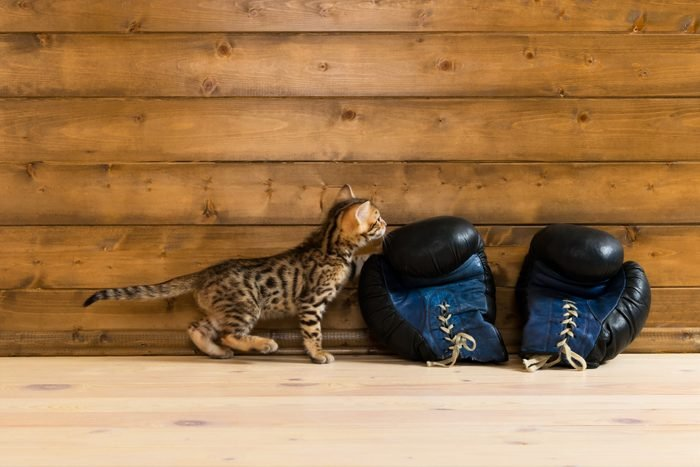 Bengal kitten with boxing gloves looking at your writing