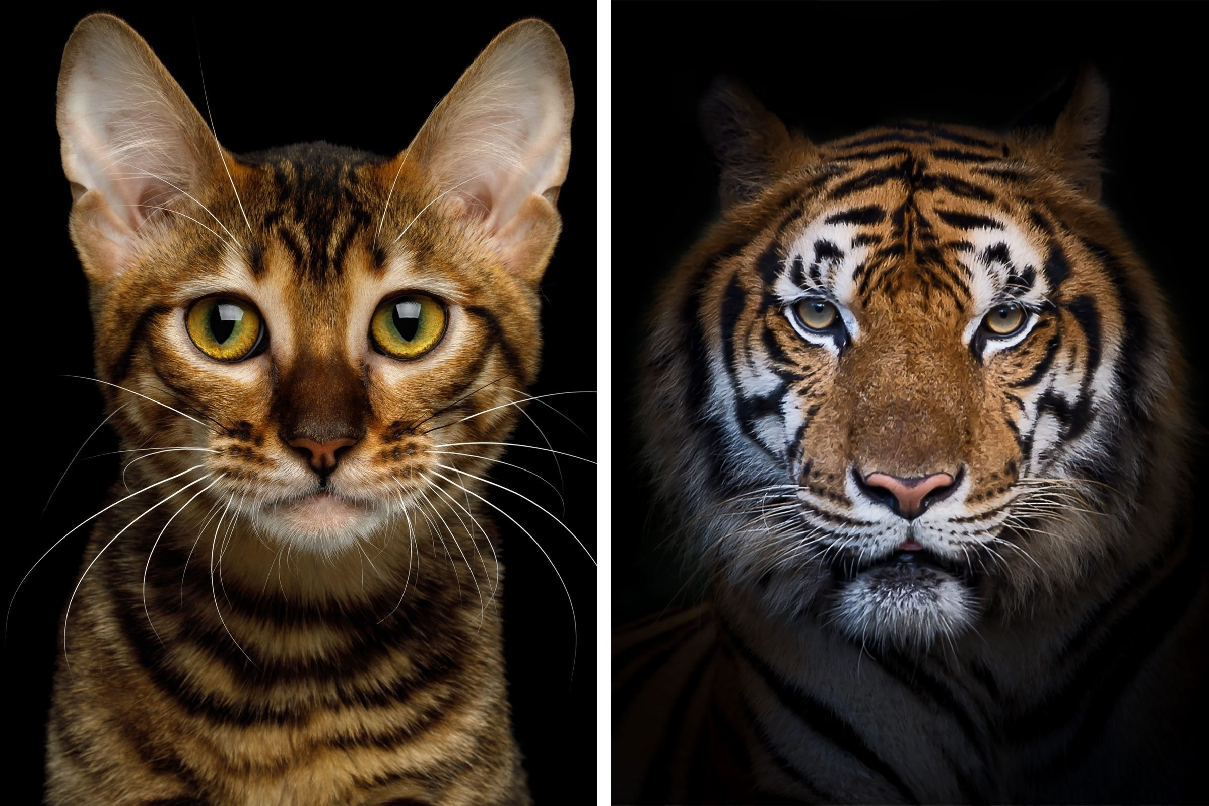 a side by side comparison of a cat and a tiger