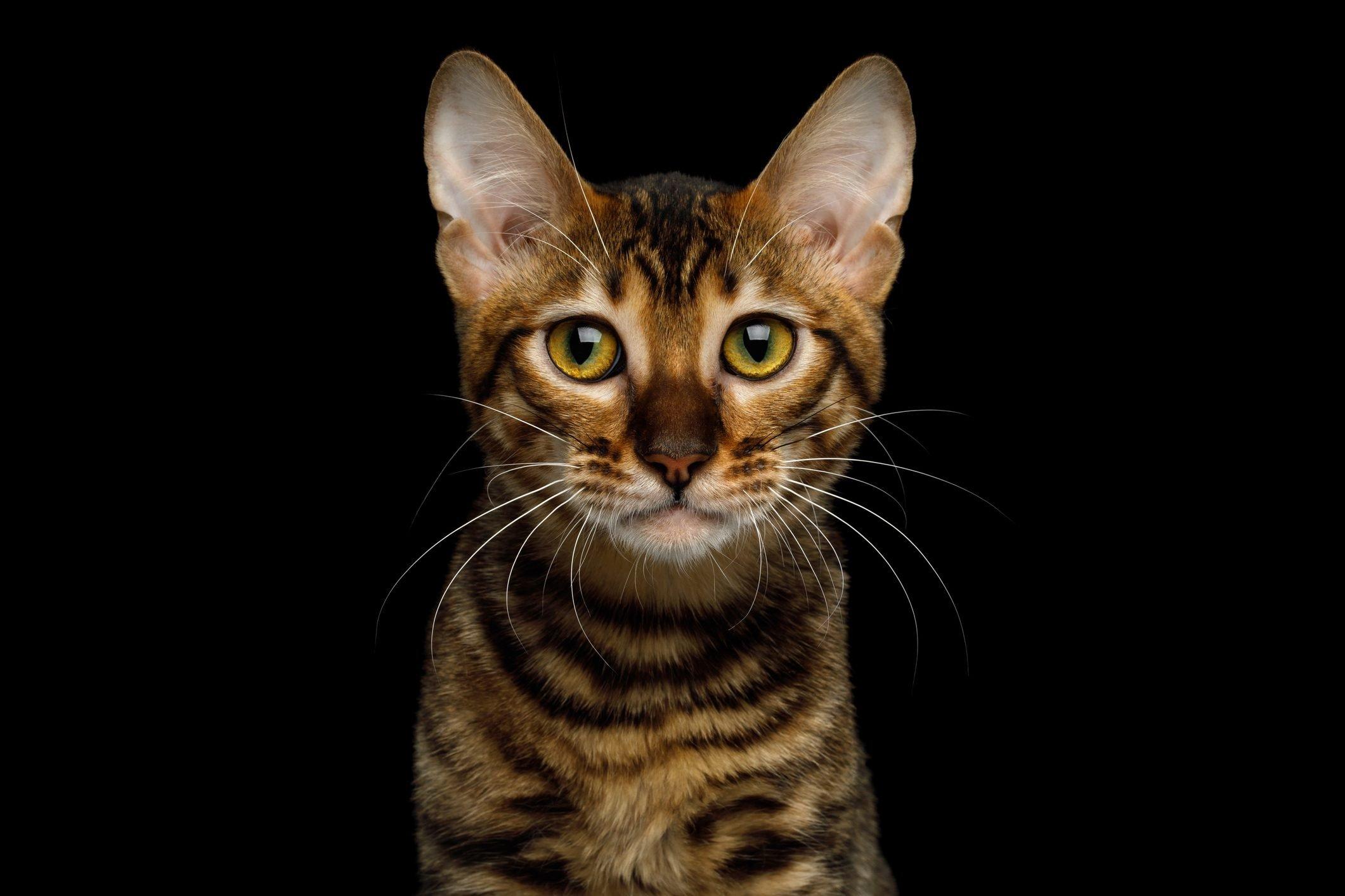 Toyger Cat on isolated Black Background