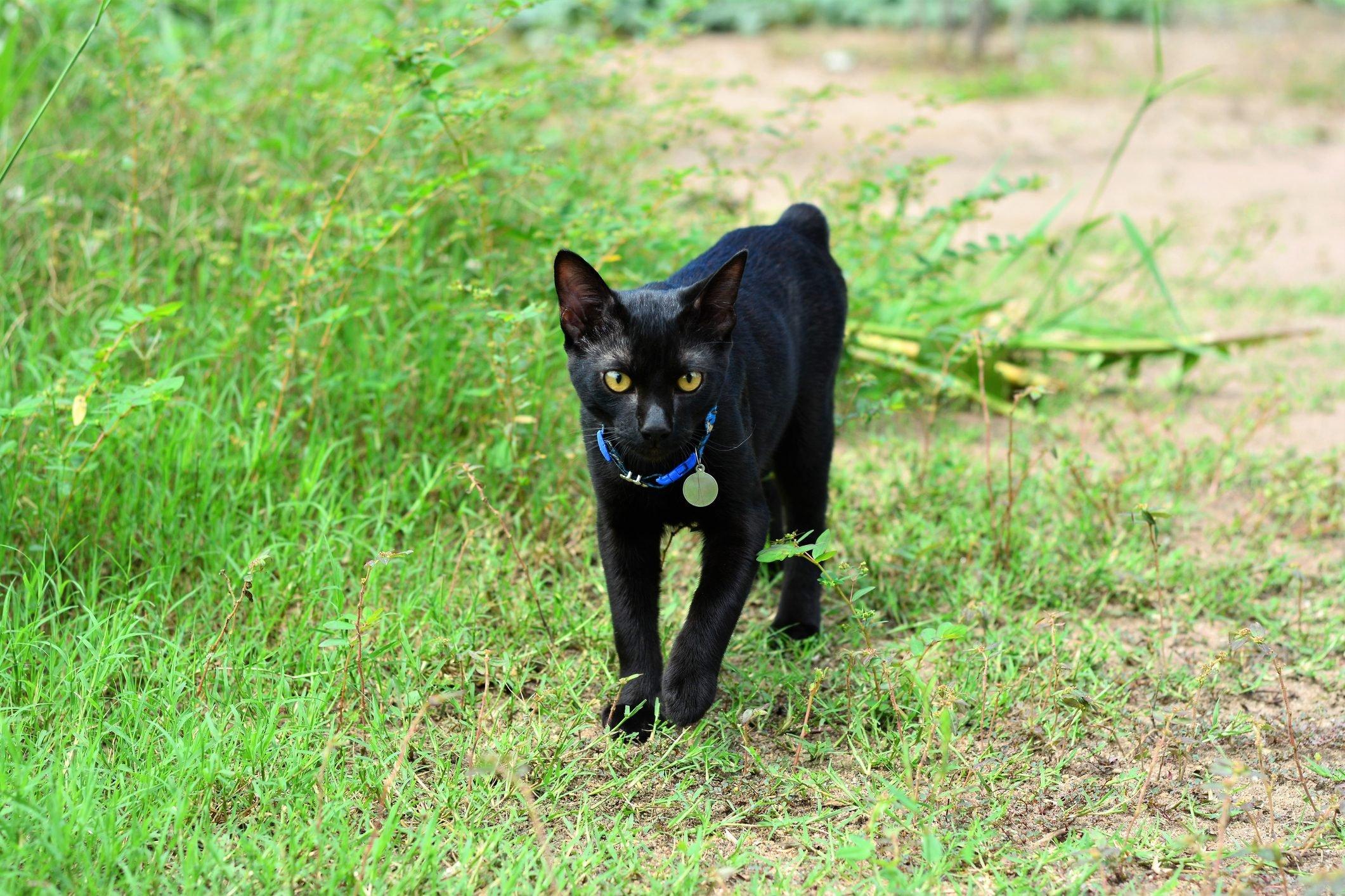 Gato bobtail preto andando pela grama