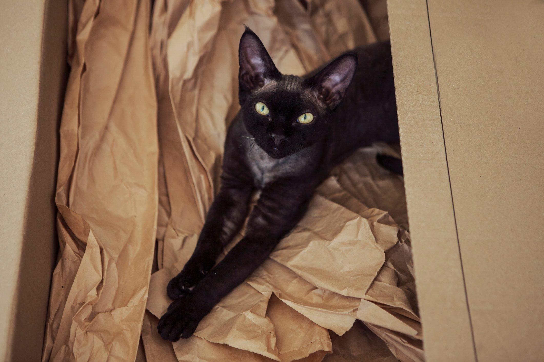 devon rex black cat in the sun