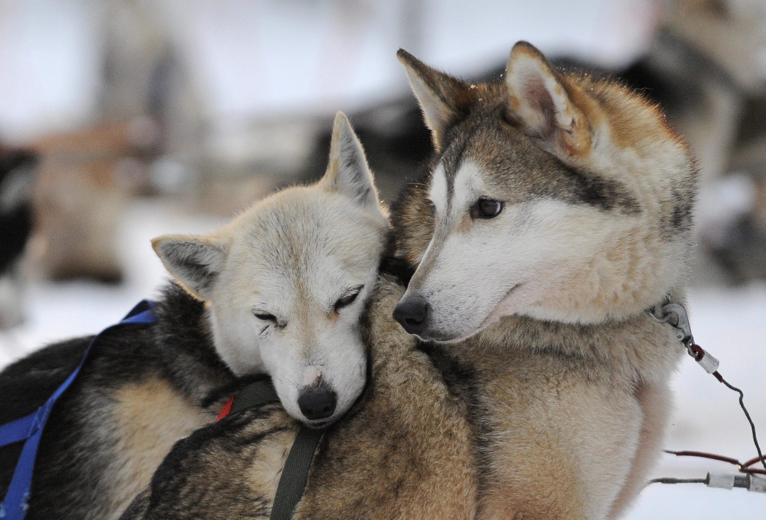 A Siberian Husky resting on another dog
