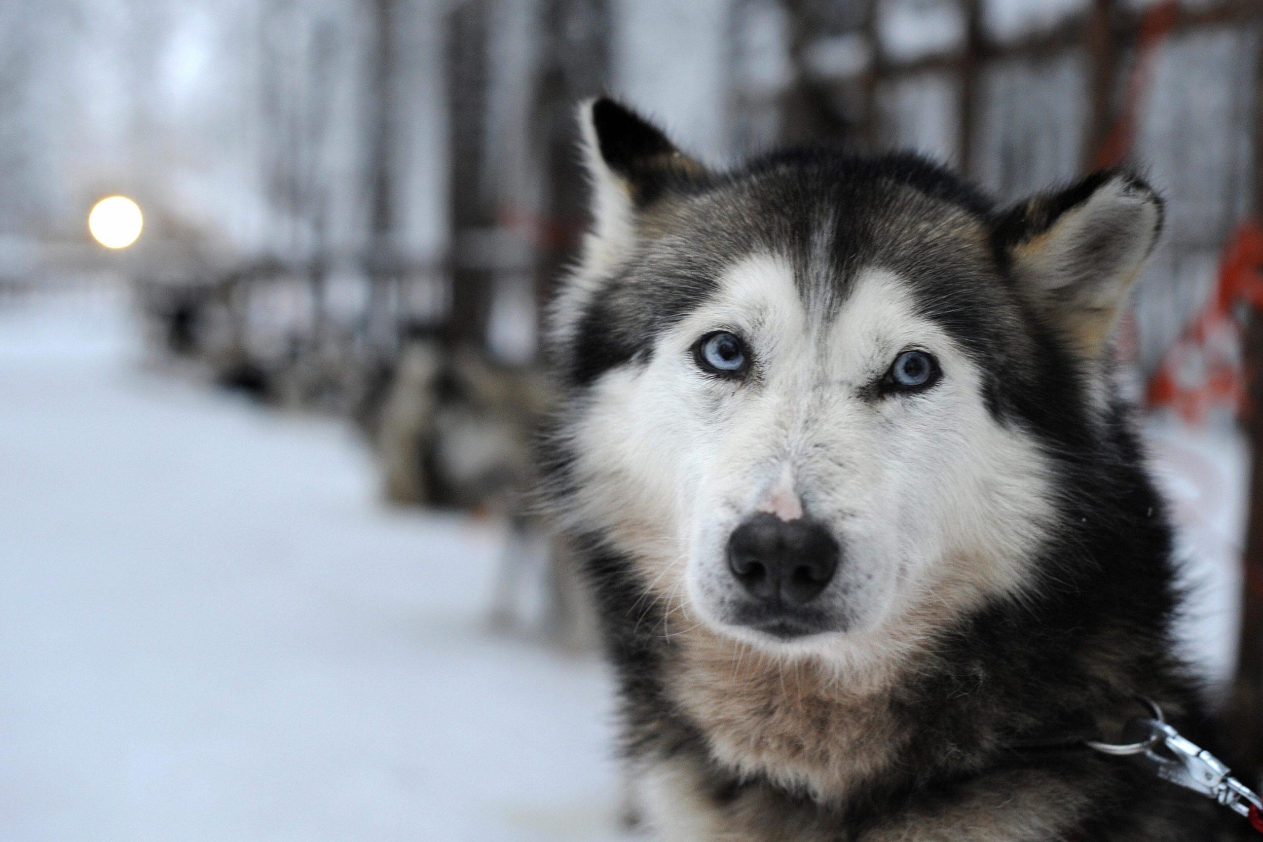 Siberian Husky waits in a snowy landscape
