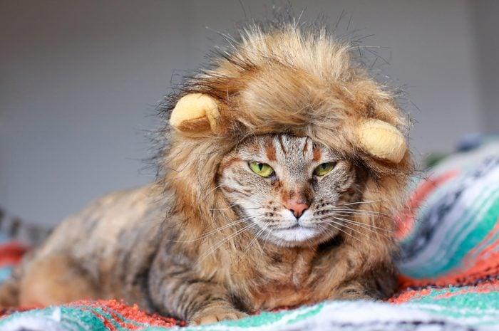 Grumpy Cat Wearing Lion Costume
