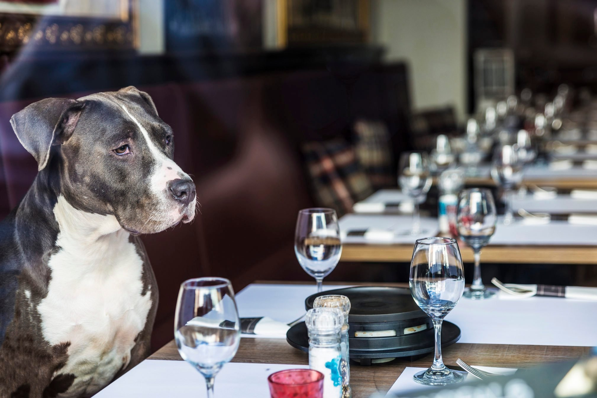 Dog sitting in a restaurant waiting to be attended