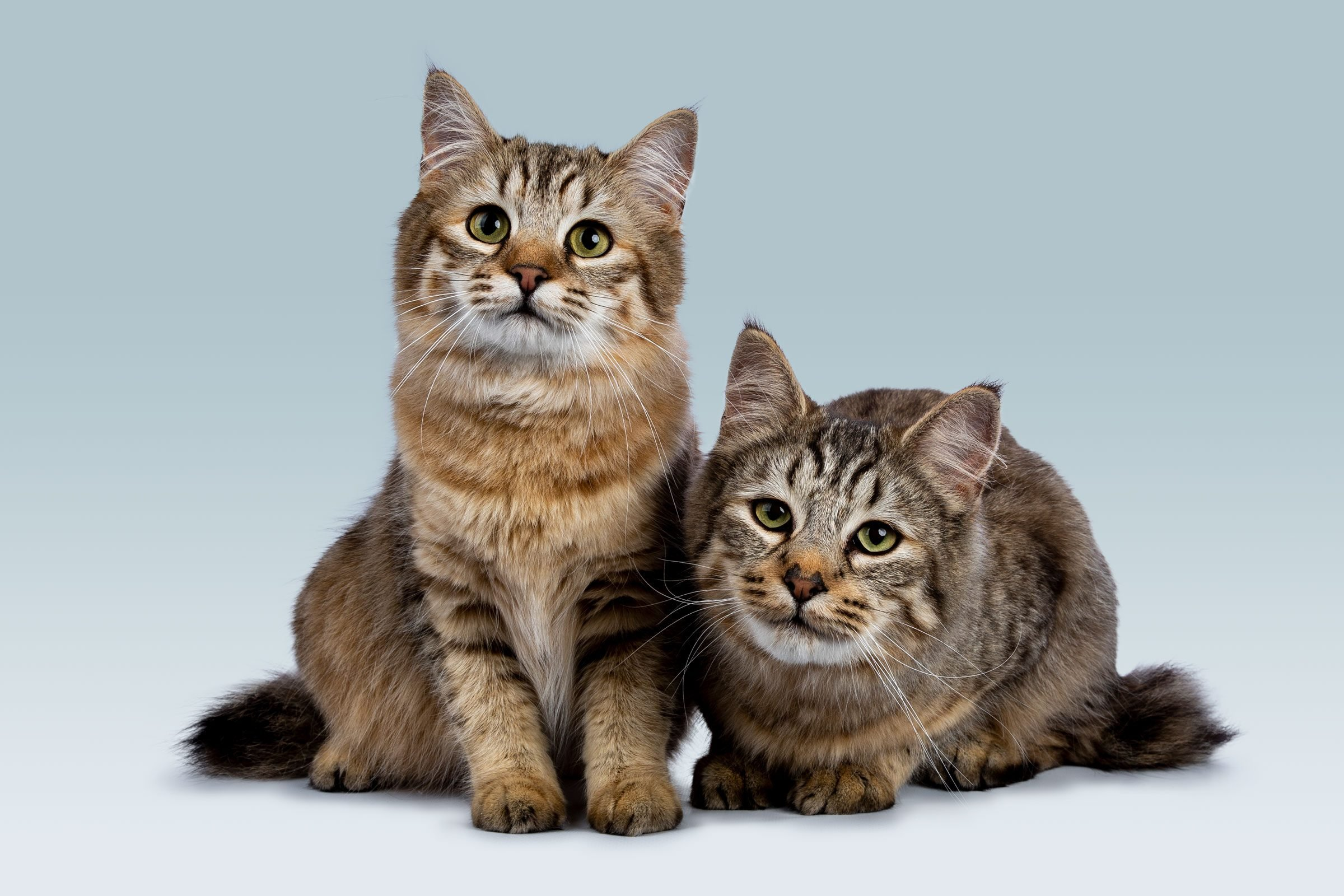 Duo of two Pixie Bob cat kittens sitting straight up and laying down