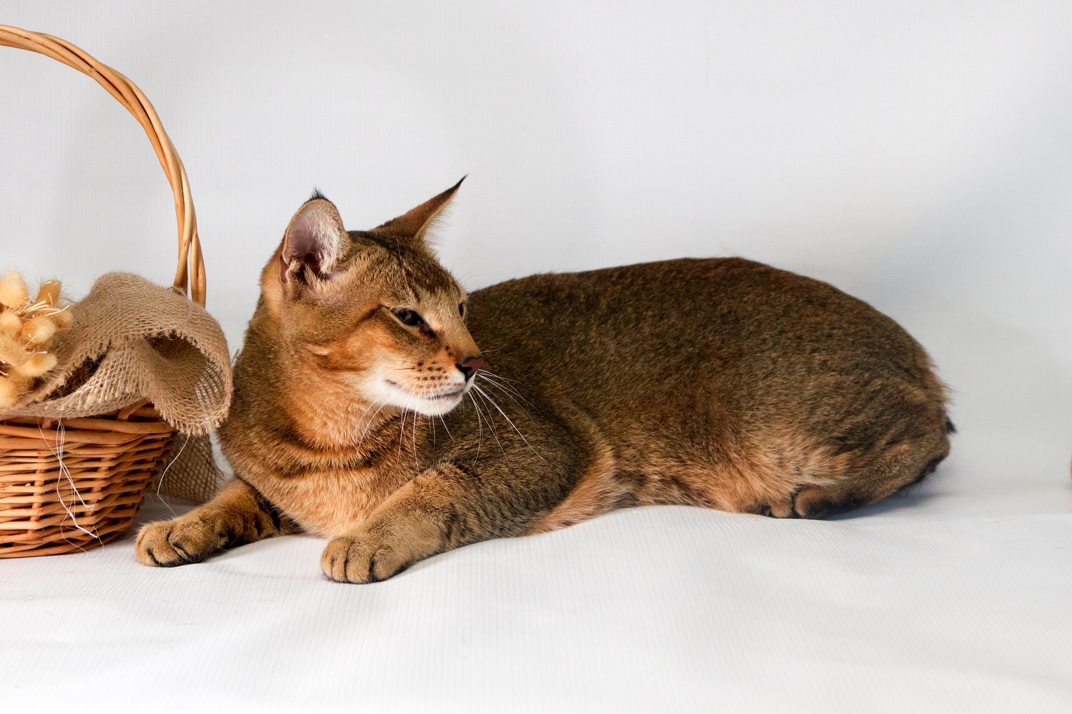 Chausie, abyssinian cat on white background