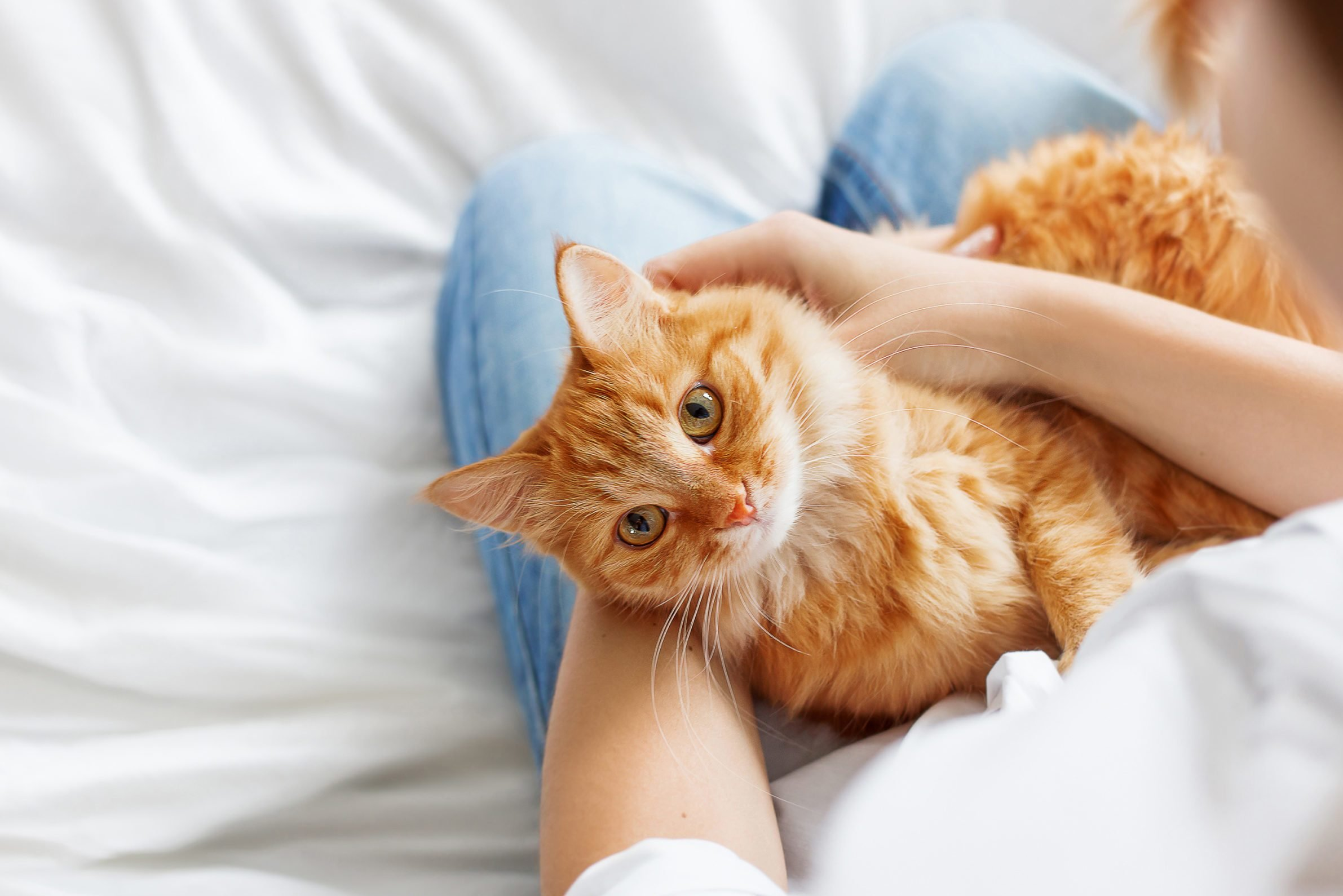 Cute ginger cat lies on woman's hands. The fluffy pet comfortably settled to sleep or to play. Cute cozy background with place for text. Morning bedtime at home.